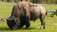 Els bisons van arribar a Amèrica fa 130.000 anys
