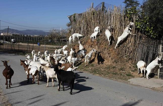 Un centenar de cabras limpiarán el sotobosque en el Baix Llobregat