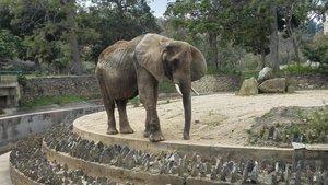 Mor esquelètica l'elefanta veneçolana Gira