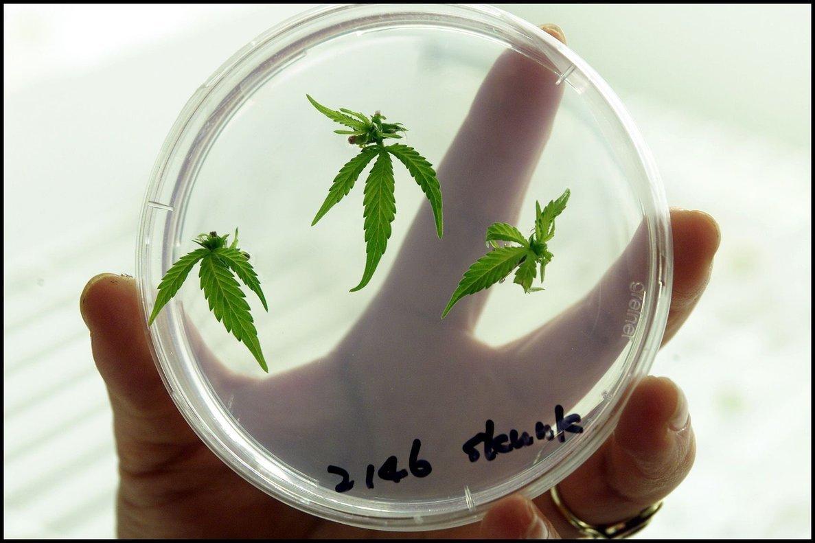 Las empresas manufactureras de la marihuana medicinal pueden producir y comercializar sus productos tanto para el mercado local como internacional.
