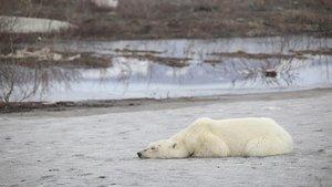 Un oso polar en la localidad siberiana de Norilsk el pasado mes de junio. La imagen es dewww.gazetazp.ru.