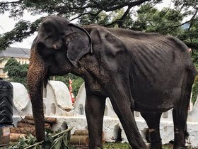 La anciana elefanta Tikiiri, desnutrida y obligada a trabajar.
