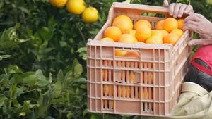 Un hombre recogiendo naranjas en Valencia
