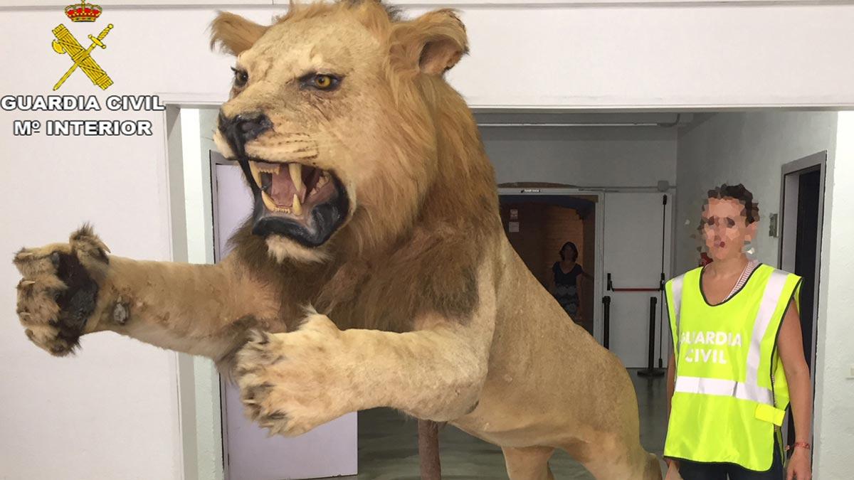 La Guardia Civil requisa en Castelldefels un león disecado que se vendía por internet.