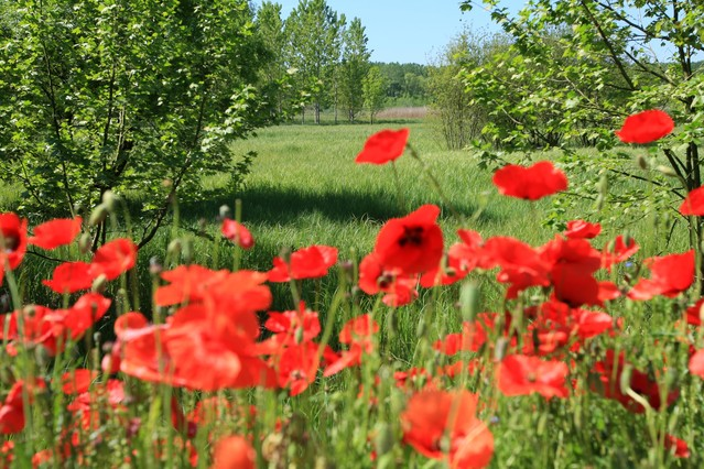Campo de amapolas en el Estanque de Sils, Girona.
