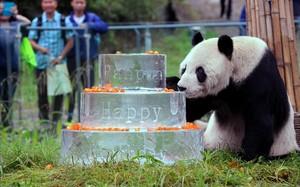 Pan Pan, en septiembre del 2015, celebrando su 30 cumpleaños.