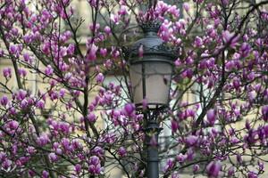 Un magnolio en flor anuncia la llegada de la primavera en una calle de San Sebastián.