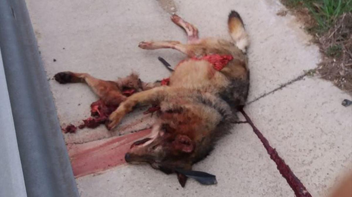 El lobo atropellado la semana pasada en el término municipal de Mont-ras, en el Baix Empordà.