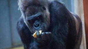 Un goril·la de 200 quilos fereix de gravetat una cuidadora del Zoo de Madrid