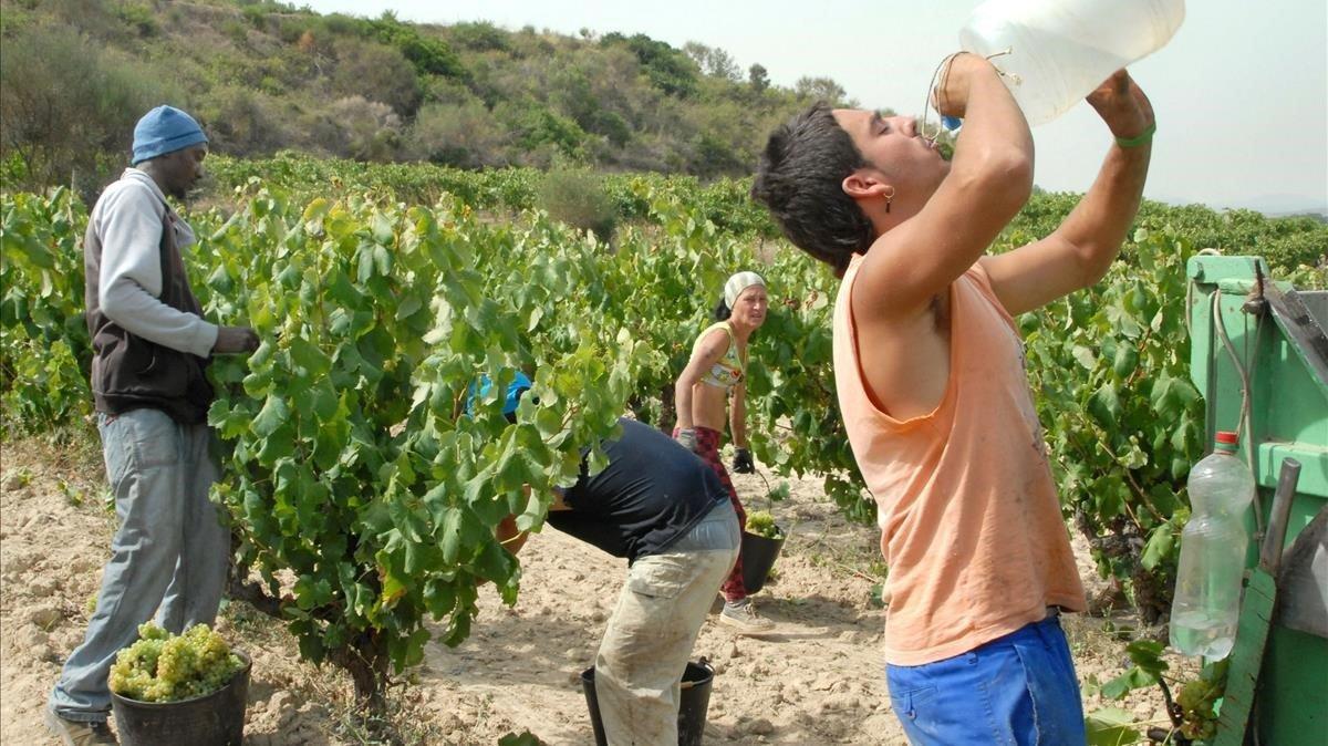 Un grupo de inmigrantes temporeros recogen uva.