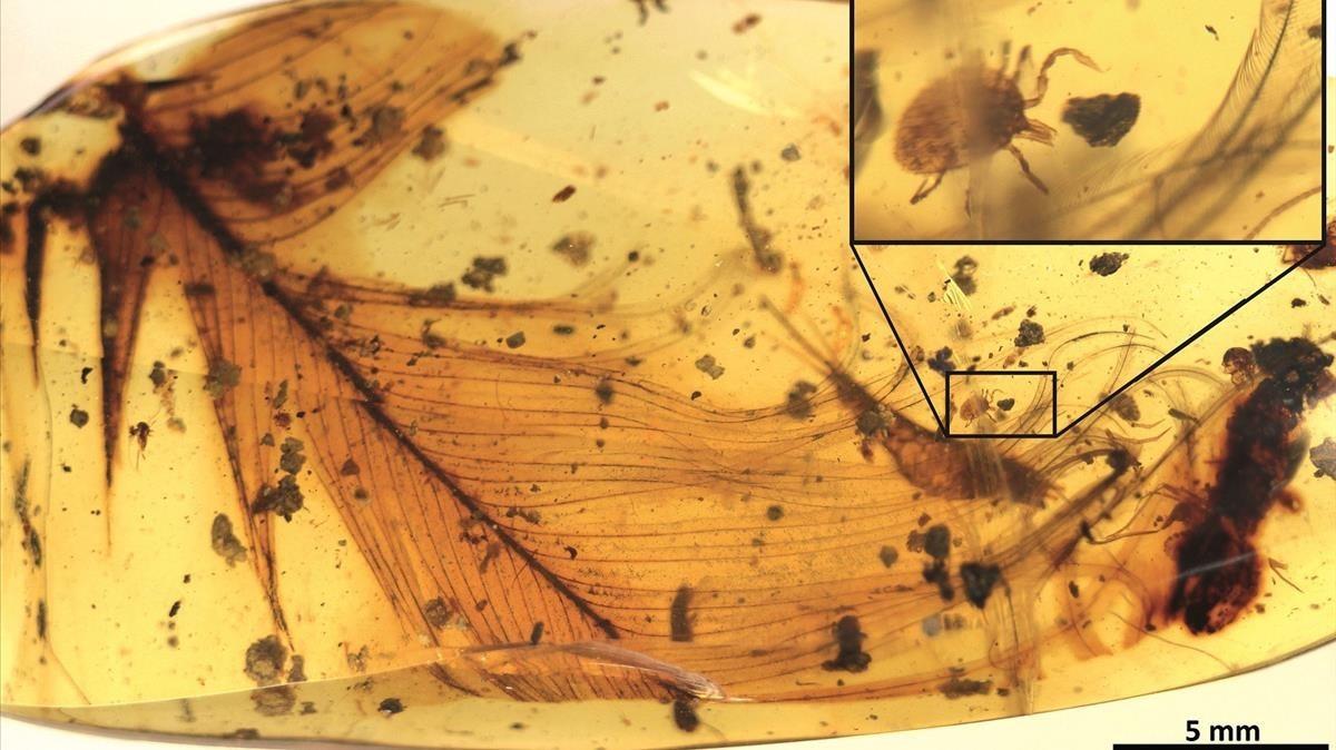 Fragmento de pieza de ámbar en el que se puede apreciar una garrapata fósil junto a la pluma de un dinosaurio terápodo. Se ha localizado en Myanmar, la antigua Birmania.