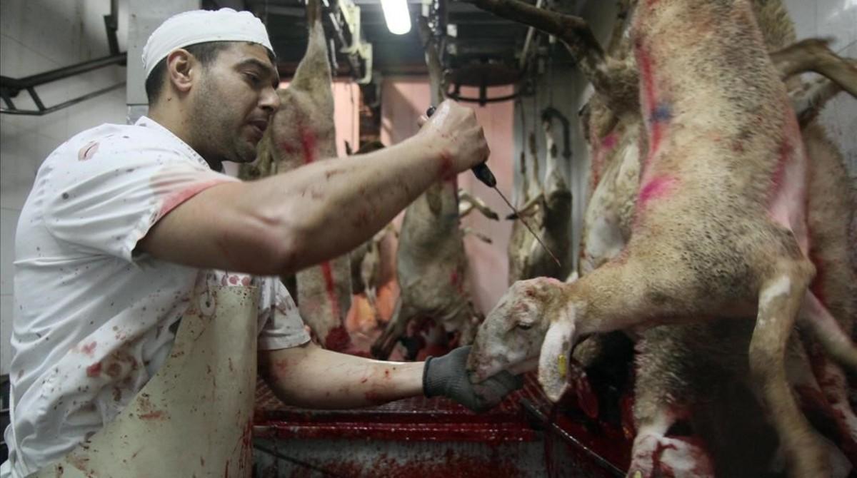 Sacrificio de corderos en un matadero de Girona siguiendo el rito 'halal' musulmán.