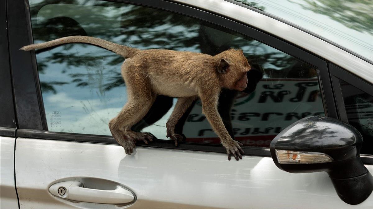 Un mono en la ventanilla de un coche