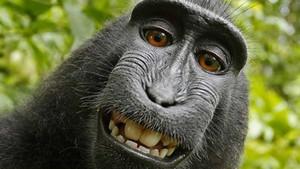 Sentència salomònica per al famós 'selfie' del macaco Naruto