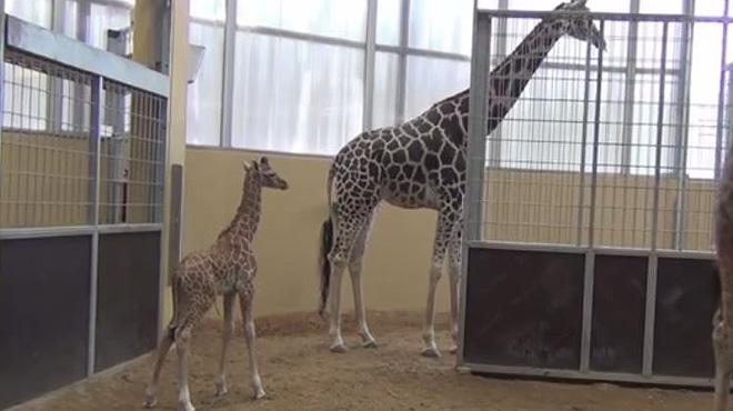 La girafa Nuru cuida el seu fill, una cria de girafa que va néixer el mes de juliol passat al Zoo de Barcelona.