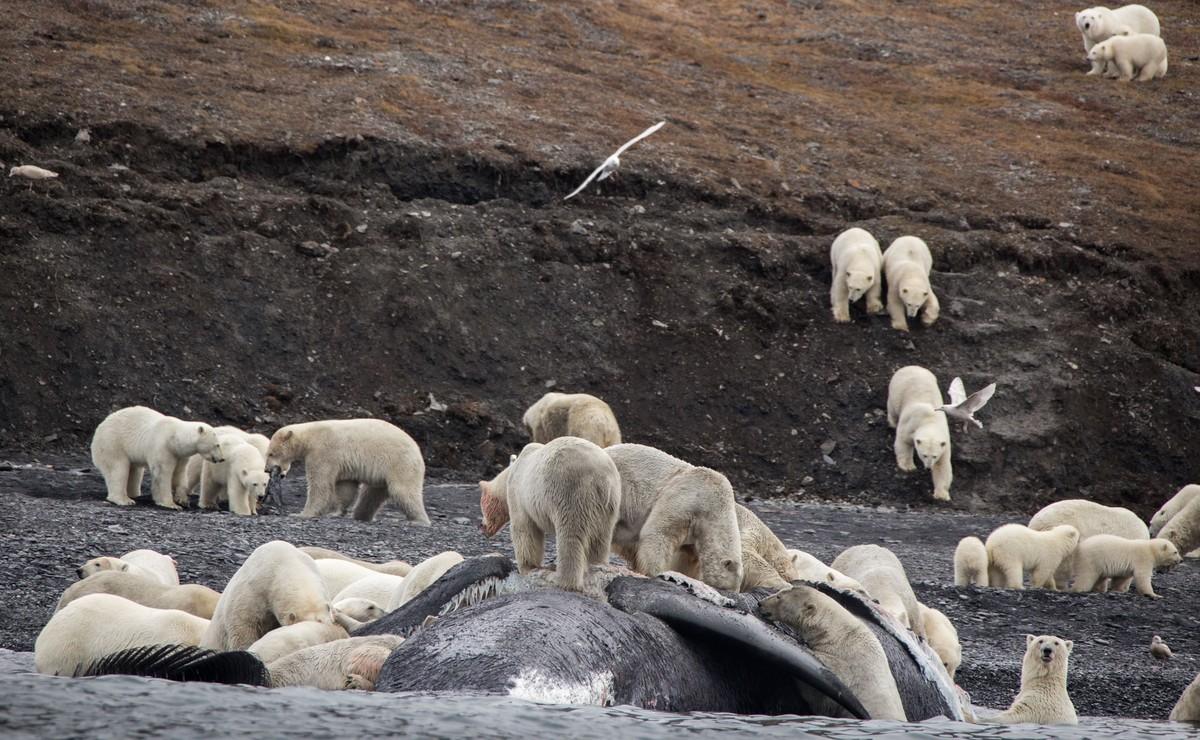 Los osos polares devoran a una ballena en la isla Wrangel