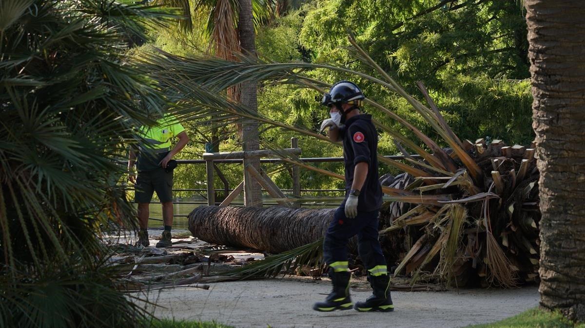 La parte superior de la palmera que, el martes pasado, se desplomó en el parque de la Ciutadella causando una víctima mortal.