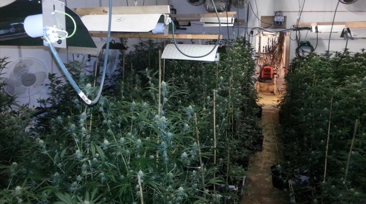 La plantación de marihuana hallada en la nave del paseo Ferrer i Vidal de Barcelona
