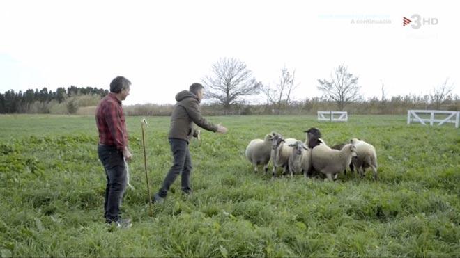 TV-3: el pastor, el gos i el ramat