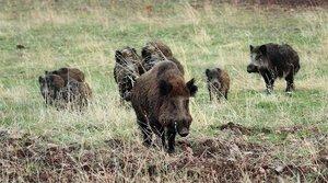 Una manada de jabalíes salvajes.