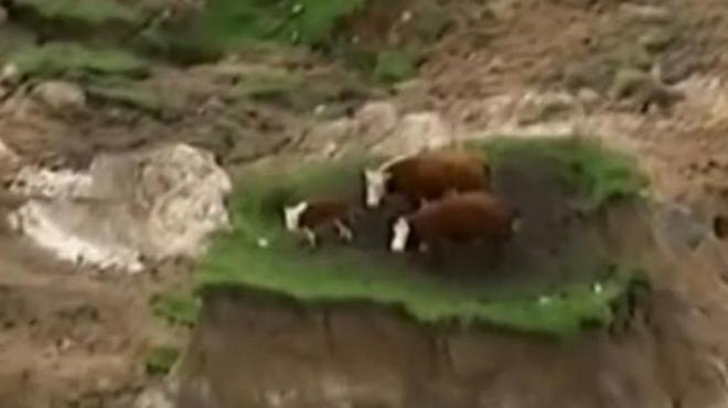 Tres vacas quedan aisladas en un deslizamiento de tierra causado por el terremoto en Nueva Zelanda.