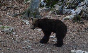 Gioat, el oso liberado en el Pirineo catalán en el 2016.