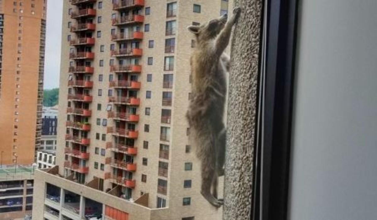 El mapache que escaló un rascacielos y mantuvo en vilo a sus seguidores durante 20 horas