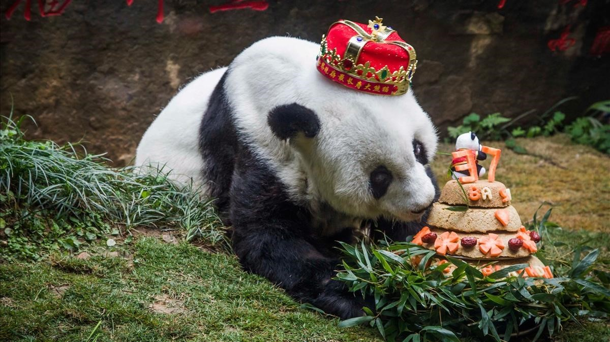 La osa panda Basi, en enero, durante su ultima fiesta de cumpleaños.