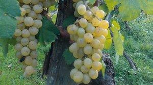 Un racimo de uvas.