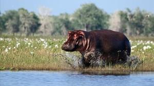 amadridejos41548457 sociedad guerra y biodiversidad hipopotamo a hippopotamus 180110195233