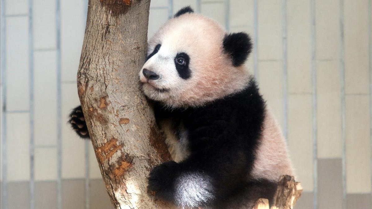 El bebé panda Xiang Xiang juega en un árbol durante su presentación a la prensa.