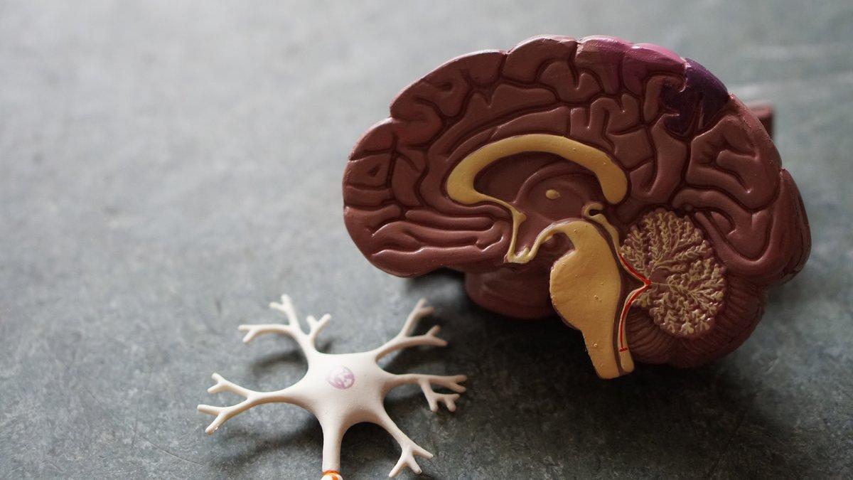 El cerebro humano contiene un promedio de 86.000 millones de neuronas.