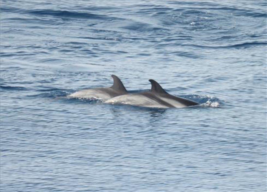 Delfines en la costa catalana, en una imagen de archivo.