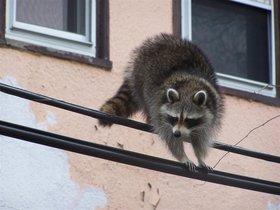 Un mapache, en una foto de archivo.