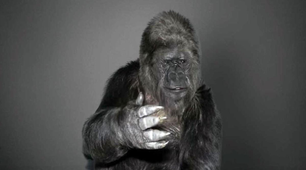 Fallece Koko, la gorila que aprendió el lenguaje de señas
