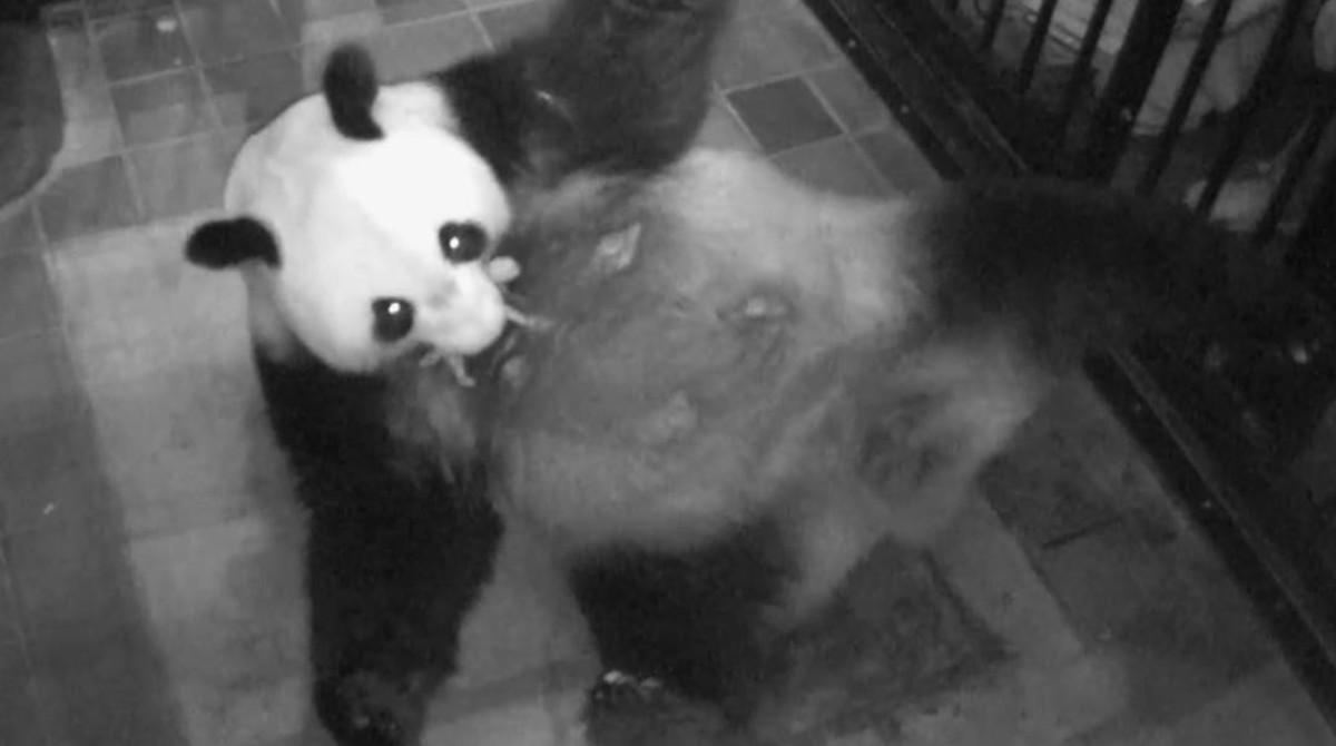 El panda gigante Shin Shin sostiene a su cría en la boca en el zoo de Tokyo.