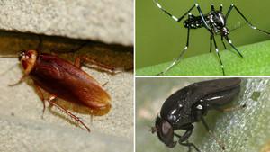 Una cucaracha, un mosquito tigre y una mosca negra, previsibles plagas para este verano.