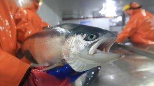 Un salmon recíen sacado del mar