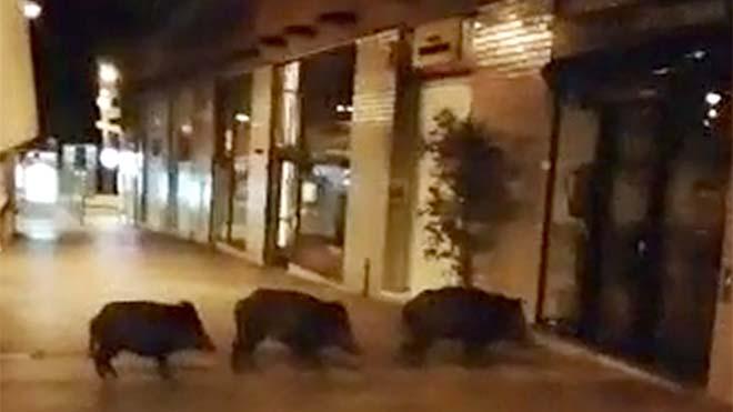 Tres jabalís merodean cerca del mercado de la Mercè y la plaza del Virrei Amat,el pasado miércoles.