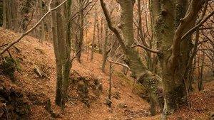 Bosque de hayas en el Montseny.