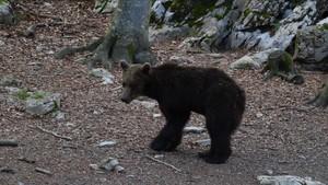 El oso esloveno Goiat, poco después de ser liberado en el valle de Ísil, en el parque natural del Alt Pirineu (Pallars Sobirà).