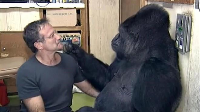 Murió Koko, la extraordinaria gorila que manejaba el lenguaje de señas