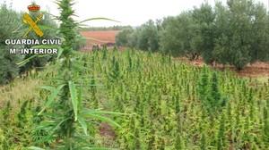 Plantación localizada en Villarrobledo
