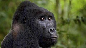 El gorila Rafiki, asesinado en junio por una lanza de un cazador furtivo.