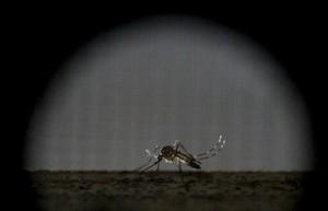 Un mosquito hembra esterilizado de la especie Aedes aegypti, la causante de la propagación del zika.