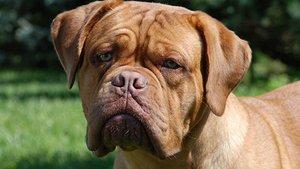Un dogo de Burdeos