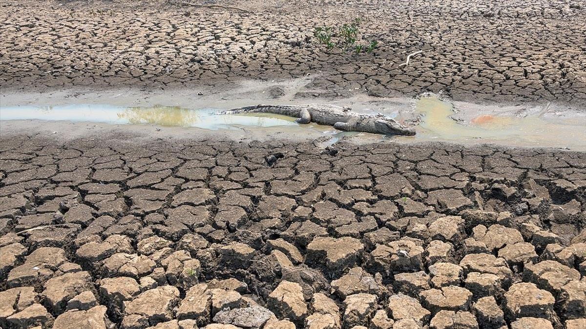 Un caimánmuerto a causa de los incendios en el Pantanalen el estado Mato Grosso.