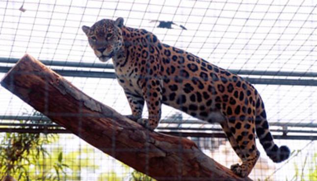 Jaguar escapa de zoológico en Estados Unidos y mata a seis animales