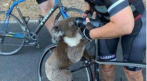 El 30% de los koalas pueden haber muerto en los incendios forestales de Nueva Gales del Sur.