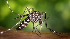 Mosquito tigre Aedes albopictus.